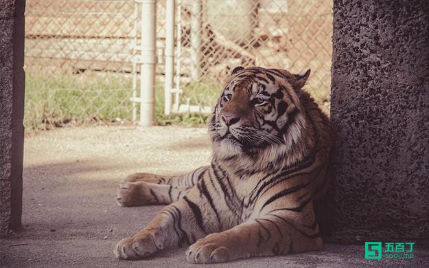 它血淋淋地告诉我们,规则才是真老虎!