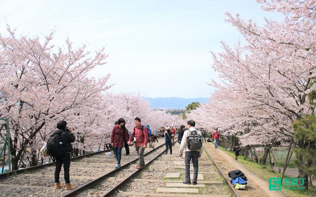 日本的桂花香