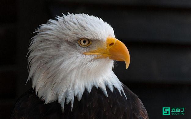 职场正能量故事:不会飞的鹰